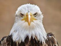 Le leucocephalus de Haliaeetus d'aigle chauve photo stock