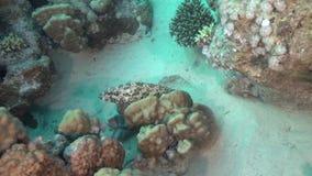 Le leucogrammicus mince d'Anyperodon de mérou comme d'habitude se reposent sur la pierre banque de vidéos