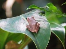 Le leucomystax commun de Polypedates de grenouille d'arbre se reposent sur la feuille Photo libre de droits