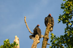 Le lever de soleil de vautours de Turquie se dorent Images libres de droits