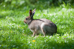 Le lièvre mange l'herbe Photos libres de droits
