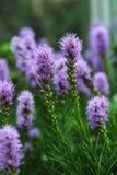 Le Liatris est un genre des plantes ornementales dans la famille d'Asteraceae Photos libres de droits