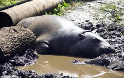 Le Libérien nain Afrique d'hippopotame scintille au soleil les Webs mammifères aux sabots fendus sur les jambes photographie stock