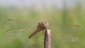 Le libellule, libellule stanno aspettando la preda sui ramoscelli
