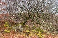 Le lichen a couvert le bouleau Photos libres de droits