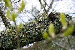 Le lichen a couvert la branche Image libre de droits
