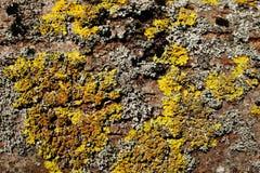 Le lichen de jaune, orange et gris sur une écorce brune d'un arbre Couleurs jaunes, oranges, grises 2 de brun Photographie stock libre de droits