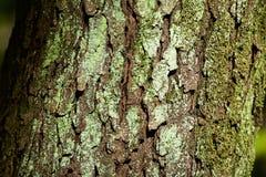 Le lichen de l'arbre de laque photo stock