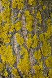 Le lichen jaune sur l'écorce d'arbre détruit la forêt Photographie stock