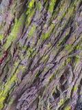 Le lichen vert a couvert l'écorce d'un tronc d'arbre photographie stock libre de droits
