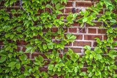 Le lierre a couvert le mur de briques Photographie stock libre de droits