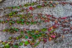 Le lierre rouge et vert part sur le mur en pierre de roche Images stock