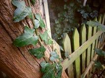 Le lierre s'élevant sur un vieil arbre avec avec de la mousse a couvert la barrière photos libres de droits