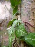 Le lierre s'embranche avec les feuilles vertes couvrant une vieille ruine Photo libre de droits