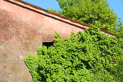 Le lierre vert part sur le vieux mur de la maison abandonnée Image libre de droits