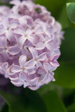 Le lilas Photo stock