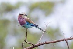 Le lilas breasted le rouleau en parc national de Kruger, Afrique du Sud images stock