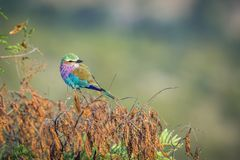 Le lilas breasted le rouleau en parc national de Kruger, Afrique du Sud photo stock