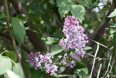 Le lilas de floraison image libre de droits