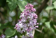 Le lilas de floraison photographie stock