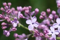 Le lilas de floraison images libres de droits