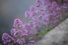 Le lilas fleurit le fond image stock