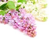 Le lilas fleurit le bouquet Images libres de droits