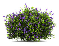 Le lilas fleurit le buisson d'isolement sur le blanc Image libre de droits
