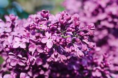 Le lilas fleurit le macro Image stock