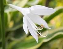 Le Lilium regale Photos stock