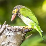 Le Lineated Barbet images stock
