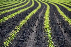 Le linee di frumento autunnale germoglia sul campo all'autunno in anticipo Immagine Stock Libera da Diritti