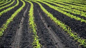 Le linee di frumento autunnale germoglia sul campo all'autunno in anticipo Fotografia Stock