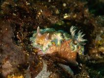 Le lingot de mer de Nudibranch sur la roche et les algues sont perché sous l'eau photo libre de droits
