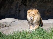 le lion à l'extérieur réprimandent photos libres de droits