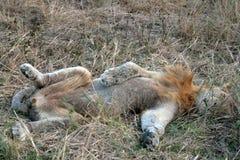 Le lion photos stock