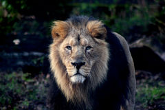 Le lion Photo stock