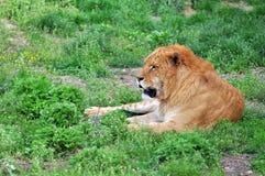 Le lion Image libre de droits
