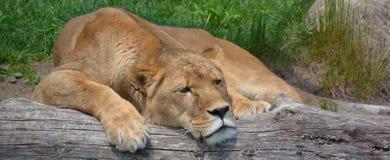 Le lion Images stock