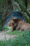 Le lion Photos libres de droits