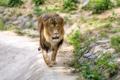 Le lion adulte animal marche dans le zoo Photographie stock