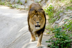 Le lion adulte animal marche dans le zoo Images stock