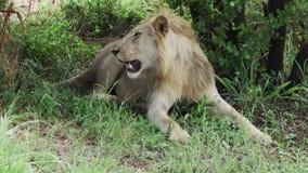 Le lion africain se reposant à la nuance d'un arbre se lève alors et marche loin banque de vidéos