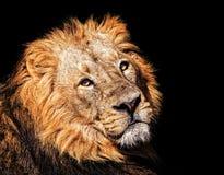 Le lion asiatique Images libres de droits