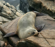 le lion australien repose la mer de roches Image stock