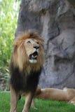 Le lion avec sa bouche ouverte préparent pour hurler images libres de droits