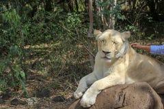 Le lion a besoin de tendre, aimant, soin Sur une promenade de lion en parc de faune des Îles Maurice image libre de droits