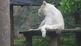 Le lion blanc se trouve d'un plat en bois Pendant la journée banque de vidéos