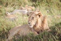 Le lion détend sur la savane 2 Photo stock