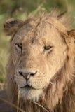 Le lion détend sur la savane 4 Photo stock
